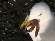 Washington - Seattle - Bainbridge - Port, oiseau et étoile de mer