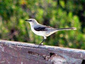 Quintana Roo - Tulum - Réserve de la biosphere Sian Ka An, oiseau