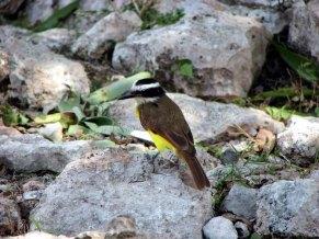 Yucatan - Uxmal - Pyramides, oiseaux