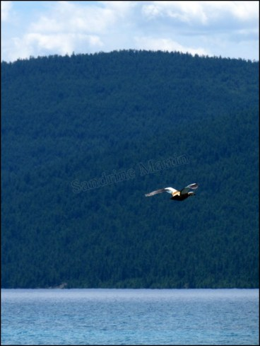 Lac Khovsgol - Canard en vol