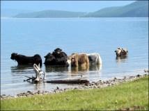 Lac Khovsgol - Yacks