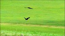 Sur la route d'Orkhon Valley, aigles en vol