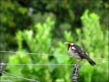 Parc national de Chitwan - Jungle, balade, oiseau 'Étourneau pie'