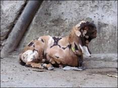 Dehradun - Au hasard des rues, chèvre