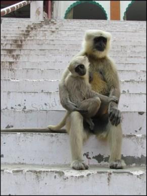 Rishikesh - Au hasard des rues, singes, la maman avec son bébé
