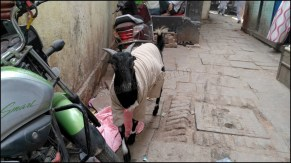 Varanasi - Au hasard des rues, chèvres