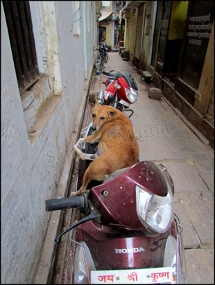 Varanasi - Au hasard des rues, chien qui se repose sur le scooter