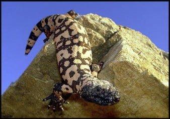 「希拉毒蜥 GLP-1」的圖片搜尋結果