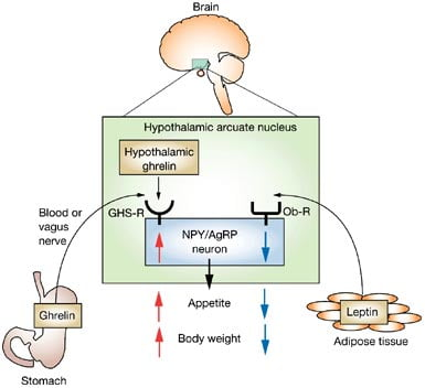 leptin-and-ghrelin-action-in-hypothalamus