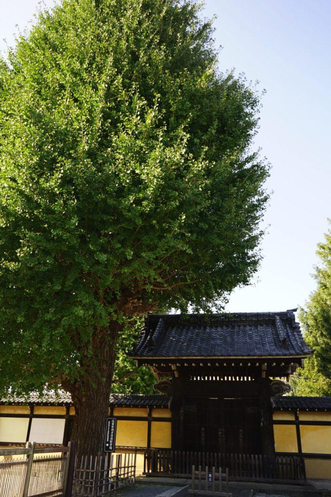 曹洞宗 養寿院の銀杏巨木