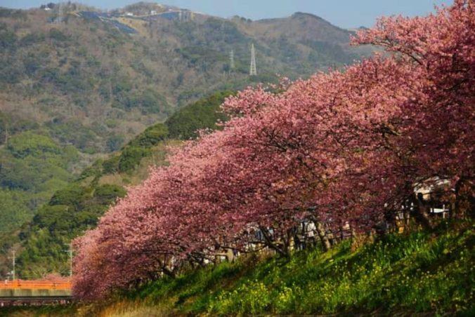 絶景の河津桜
