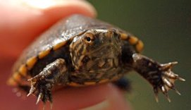 Sonoyta mud turtle. photo George Andrejko