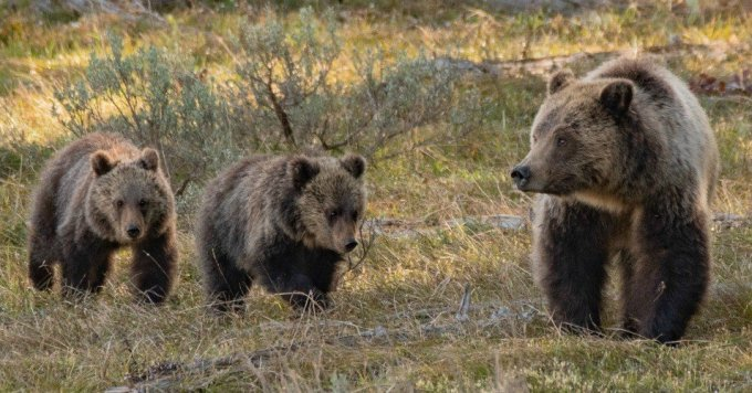 A bear and her cubs in Grand Teton National Park in Wyoming. (Photo: Rich Miller/Flickr/cc)