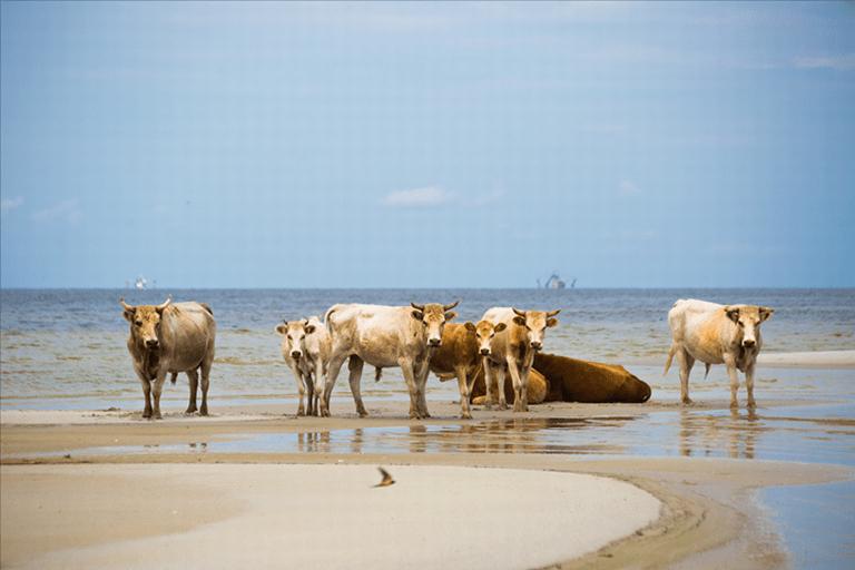 cowsisland