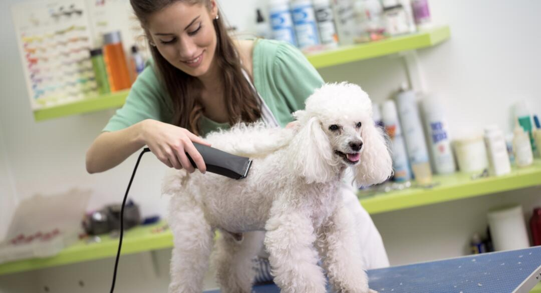 Dog groomer trimming a poodle