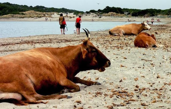 Corsican Cattle