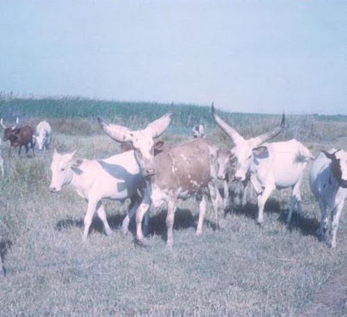 Kuri Cattle