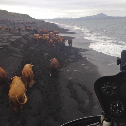 Umnak Island Cattle