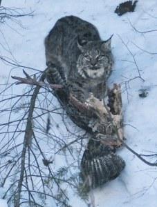 Bobcat eating wild turkey on Libby Creek. Photo by Sue Misao