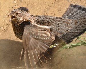 Angry grouse in Carlton. Photo by Sue Misao