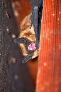 July 17, 2013: This bat in Carlton screamed at the people (and dog) who woke him up. Photo by Sue Misao