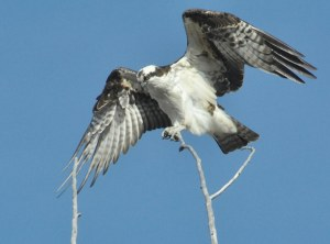 Osprey above Methow River south of Twisp. Photo by Sue Misao