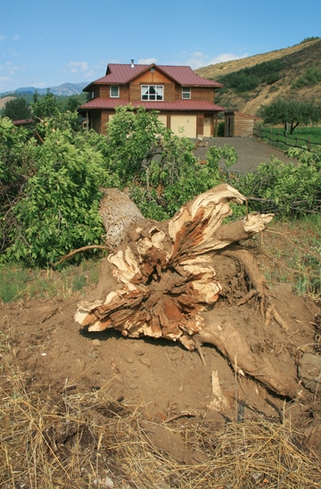 The intense storm that started around midnight on Saturday toppled large trees around the valley, including this one on Twisp River Road. Although the storm delivered lightning and hard rain, the most significant damage was caused by the wind. Most trees that blocked roads had been cleared by locals by Sunday morning, although Okanogan County Public Works also sent out someone to help remove downed trees. Photo by Marcy Stamper