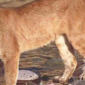 Cougar sightings, encounters continue to add up in the valley