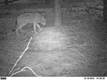 A photo taken Dec. 18 of an adult Lookout Pack wolf.Photo provided by Washington Department of Fish and Wildlife.