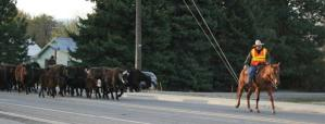 After rounding the corner onto Highway 20, Dave Hicks on Mahoney takes the lead to bring the cattle on through Twisp as his wife Shauna Hicks on Nikki helps from the far side of the herd. Photo by Darla Hussey