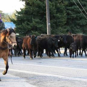 Carrie Fink, riding Brooks, takes a break from her day job as an LBHS math teacher to  help with last Saturday's cattle drive. Photo by Darla Hussey