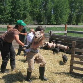 Wes Hover, left, one of three breeders of the 50 pigs Methow kids hope to take to the county fair this year, helped Trent Skelton hoist his choice at the annual 4-H pig round-up. Photo by Marcy Stamper
