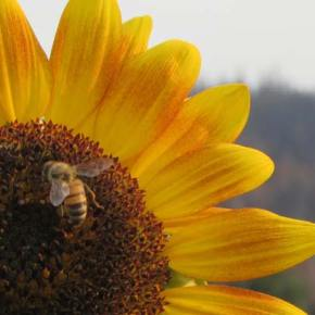 Loss of foraging habitat a huge challenge for local beekeepers