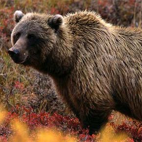 Lots of public support for return of grizzly bears to N. Cascades ecosystem