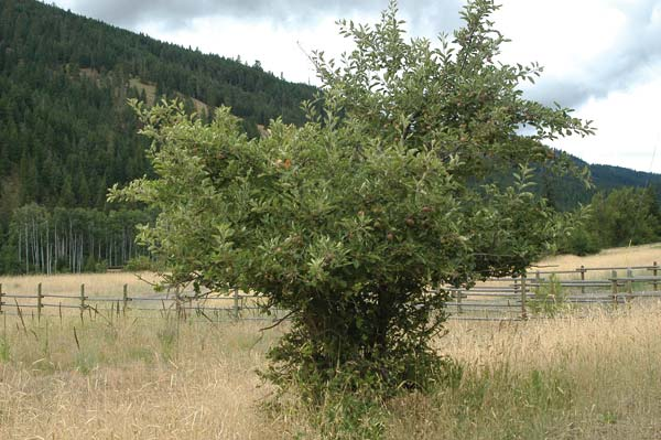 Photo by Ann McCrearyEven feral trees need to be treated to avoid a widespread apple maggot infestation.