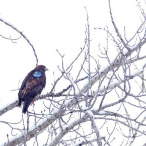 Eagle 166 migrates from Montana to the Methow — but may move on again