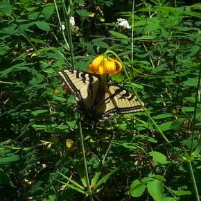 Photo by Darla HusseyA hike along Patterson Lake found this tiger swallowtail butterfly enjoying a lunch of tiger lily nectar.