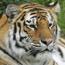 Killer tiger 'may have been taunted'