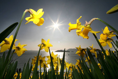 Daffodils: global warming could see them flower earlier