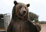 rocky grizzly bear
