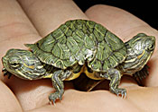 two-headed turtle