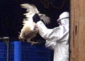Call for bird flu jabs to avoid chaos