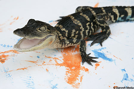 Gator-made: a baby alligator paints a picture in Gatorland, Florida