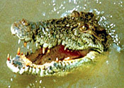 Cops sieze Mafia boss's crocodile