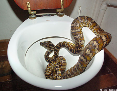 A python; Not quite what you expect to see in the toilet bowl