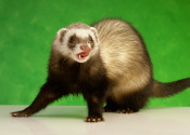 A ferret, not down someone's trousers