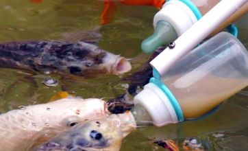Tourists feed fish milk from the bottle