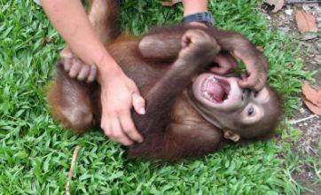 Orangutans laugh less than gorillas and chimps