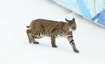 The Lynx effect: wild cat prowls Winter Olympics