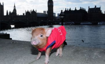 Manuka the micro pig has a day out in London